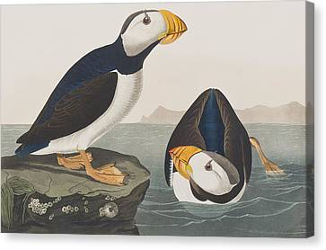 Large Billed Puffin Canvas Print by John James Audubon