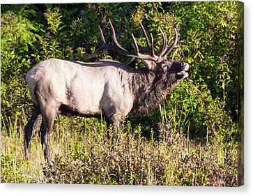 Large Bull Elk Bugling Canvas Print
