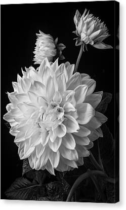 Large White Flower Canvas Print - Large Dahlia In Black And White by Garry Gay