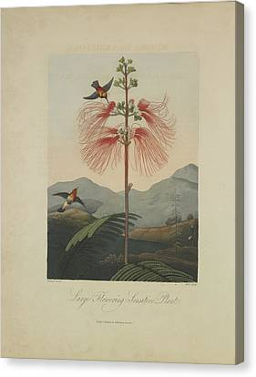 Large Flowering Sensitive Plant Canvas Print by Robert John Thornton