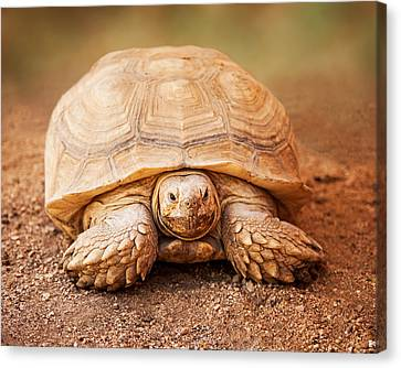 Large Galapagos Tortoise Looking Forward Canvas Print by Susan Schmitz