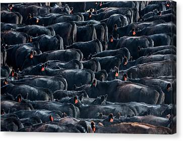 Angus Steer Canvas Print - Large Herd Of Black Angus Cattle by Todd Klassy