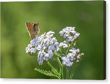 Large Skipper On A Flower Canvas Print by Tim Abeln