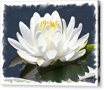 Large Water Lily With White Border Canvas Print by Carol Groenen
