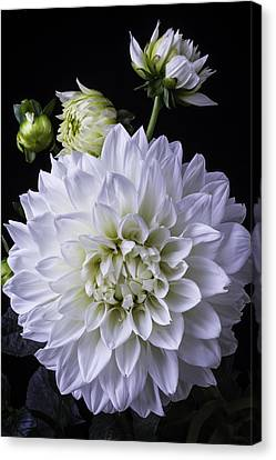 Large White Flower Canvas Print - Large White Dahlia by Garry Gay