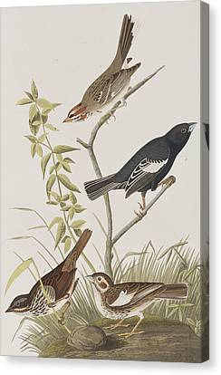 Lark Finch Prairie Finch Brown Song Sparrow Canvas Print by John James Audubon