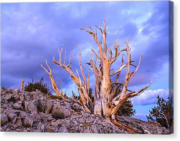 Last Light On The Bristlecones Canvas Print by Joe Doherty