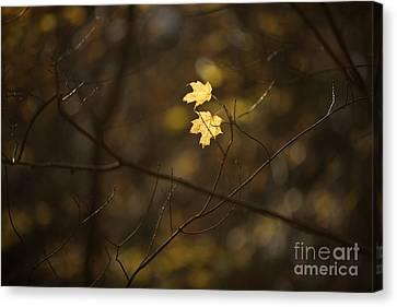 Maple Season Canvas Print - Late Autumn Light by Diane Diederich