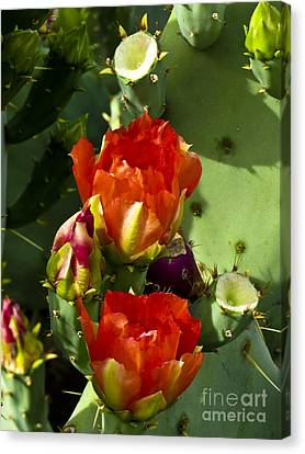 Late Bloomer Canvas Print by Kathy McClure