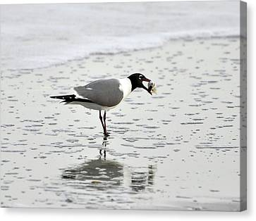 Laughing Gull Meal Canvas Print by Al Powell Photography USA