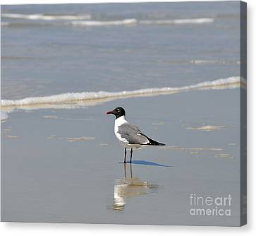 Laughing Gull Reflecting Canvas Print by Al Powell Photography USA