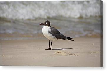Laughing Gull Canvas Print by Sandy Keeton