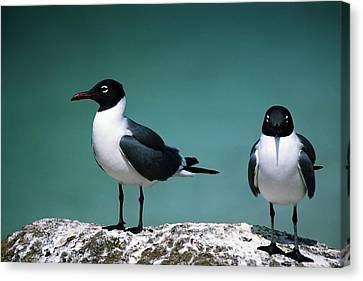 Laughing Gulls Canvas Print by Sally Weigand