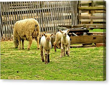 Laughing Lamb Canvas Print by Geraldine Scull