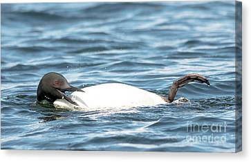 Laughing Loon Canvas Print by Cheryl Baxter