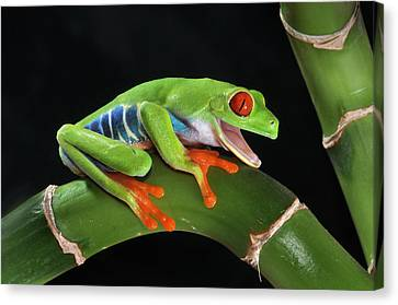 Laughter In The Rainforest Canvas Print by Paul Bratescu