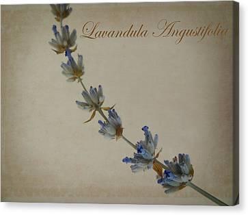 Lavandula Angustifolia Canvas Print