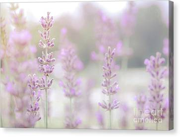 Canvas Print featuring the photograph Lavender 7  by Andrea Anderegg