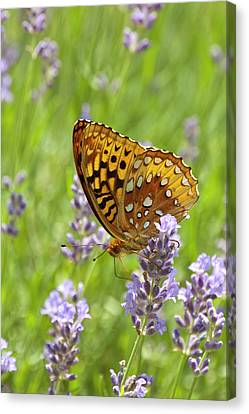 Lavender And Butterfly 2 Canvas Print by Lara Ellis