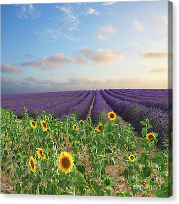Lavender And Sunflower Flowers Field Canvas Print