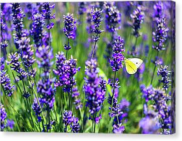 Lavender And The Heart Canvas Print by Ryan Manuel