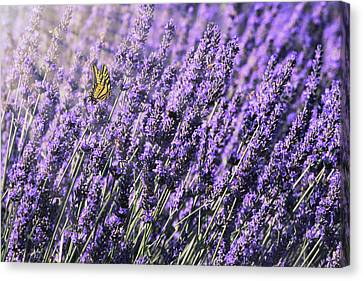 Lavender And Tiger Swallowtail In The Morning Light Canvas Print by Diane Schuster