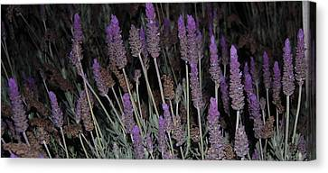 Lavender At Night Canvas Print by Jean Booth