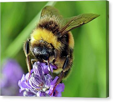 Lavender Bee Canvas Print by David  Hollingworth