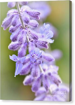 Canvas Print featuring the photograph Lavender Blooms by Kerri Farley
