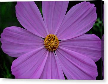 Lavender Cosmos Canvas Print by Marilynne Bull