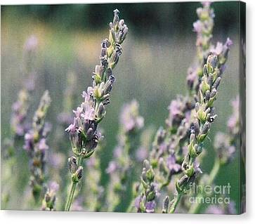 Canvas Print featuring the painting Lavender by Eric  Schiabor