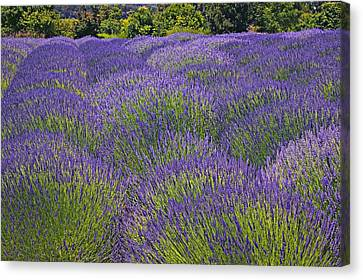 Lavender Field Canvas Print by Garry Gay