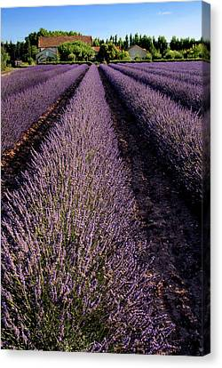 Lavender Field Provence France Canvas Print by Dave Mills