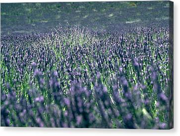 Lavender Canvas Print by Flavia Westerwelle
