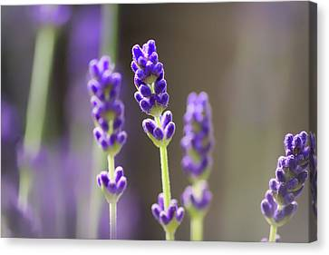 Lavender Flower Canvas Print by Martin Newman