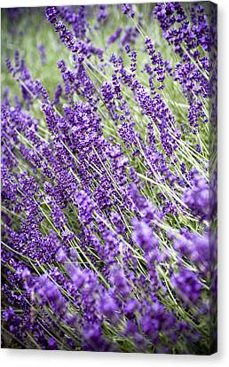 Lavender Canvas Print by Frank Tschakert