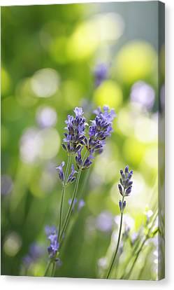 Lavender Garden Canvas Print by Frank Tschakert