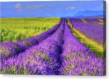 Lavender Love Canvas Print by Midori Chan