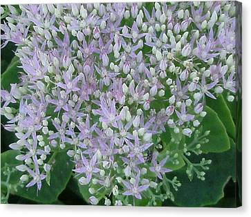Lavender Lovelies Canvas Print by Anne-Elizabeth Whiteway