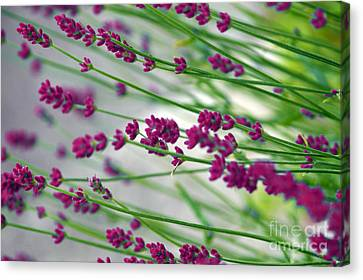 Canvas Print featuring the photograph Lavender by Susanne Van Hulst