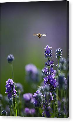 Lavender User Canvas Print