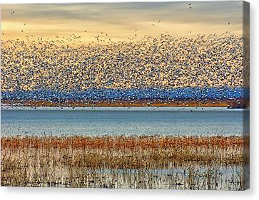 Layers - Snow Geese Canvas Print by Nikolyn McDonald