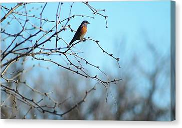 Lazuli Bunting Looks Out Canvas Print
