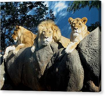 Lazy Day Lions Canvas Print