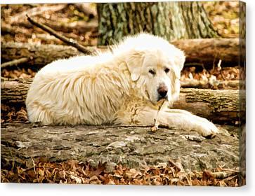 Lazy Dog Canvas Print by Paul Bartoszek