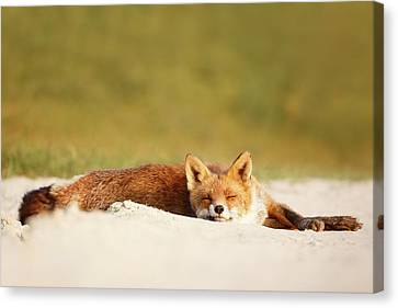 Lazy Fox Is Lazy II Canvas Print