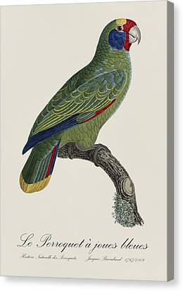 Le Perroquet A Joues Bleues / Red-tailed Amazon - Restored 19th C. Parrot Illustration By Barraband Canvas Print by Jose Elias - Sofia Pereira