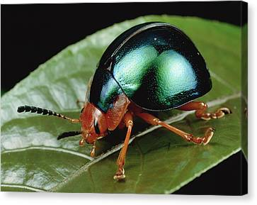 Leaf Beetle From South Africa Canvas Print by Mark Moffett