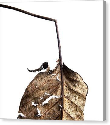 Leaf Canvas Print by Bernard Jaubert