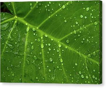 Canvas Print featuring the photograph Leaf Drops by Art Shimamura